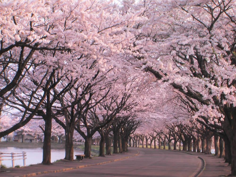 Cherry blossom time, Ueno Park, Tokyo, Japan